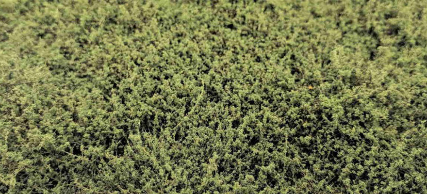 WB-SEMG Bushes type E Medium Green High